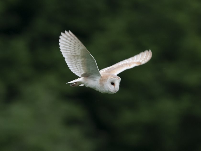 barn owl watching safaris david plummer