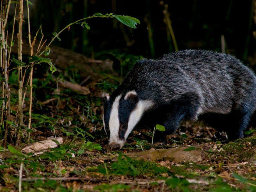 Badger wildlife photography by David Plummer