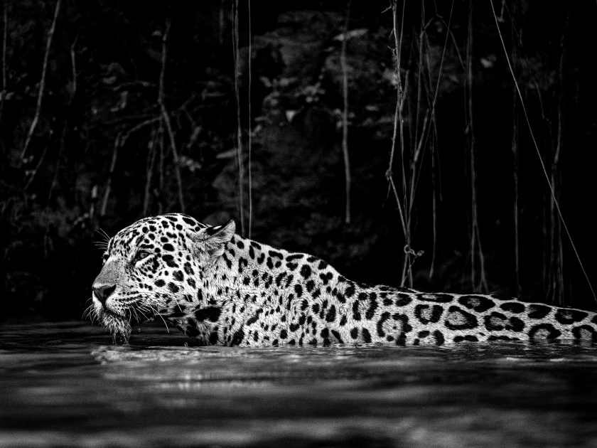 Jaguar – international wildlife safari Pantanal, Brazil