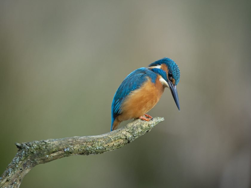 Kingfisher Alcedo atthis taken from kingfisher photography hides west sussex