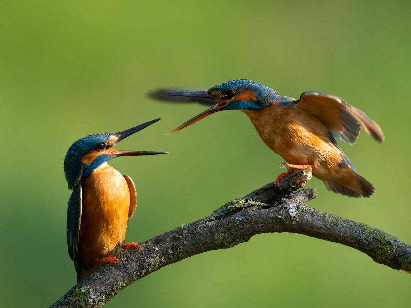 kingfisher wildlife photography hide by David Plummer