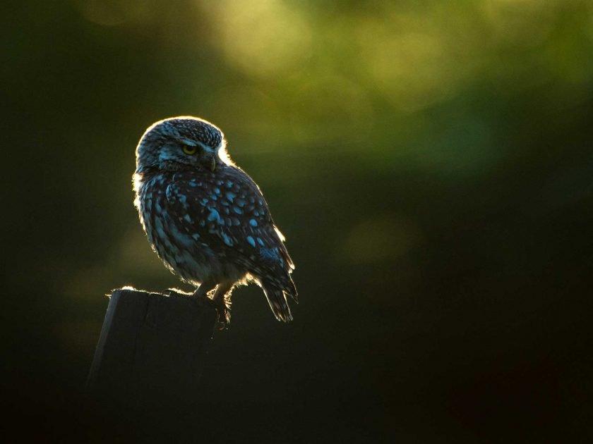 little owl hide sussex