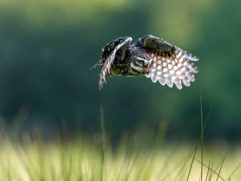 little owl sussex