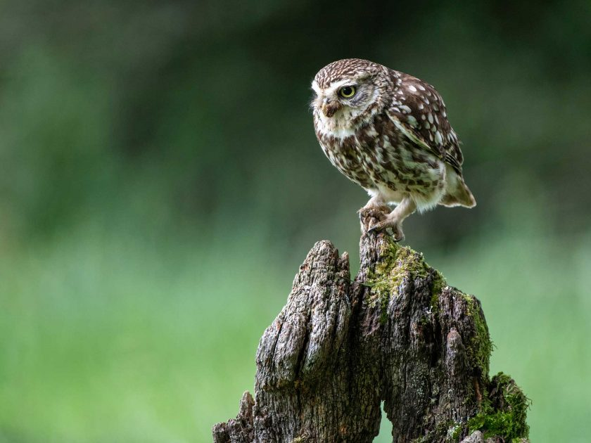 little owl by David Plummer