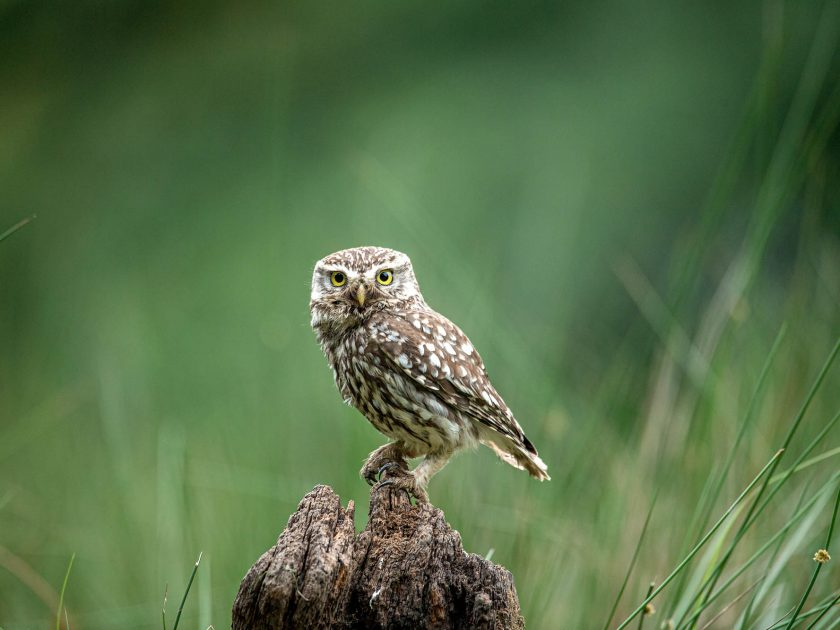 Little owl hide | wildlife photography by David Plummer