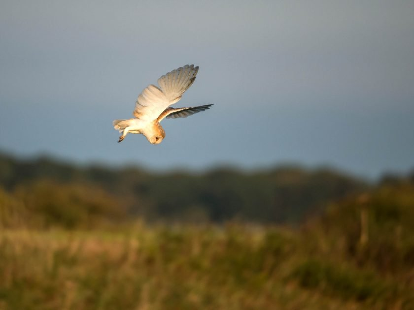 Barn owl photography safari sussex | wildlife photography by David Plummer