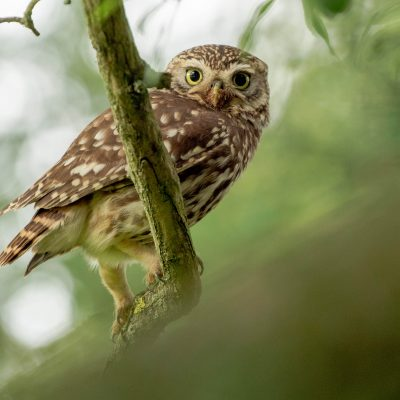 Little owl wildlife photography by David Plummer