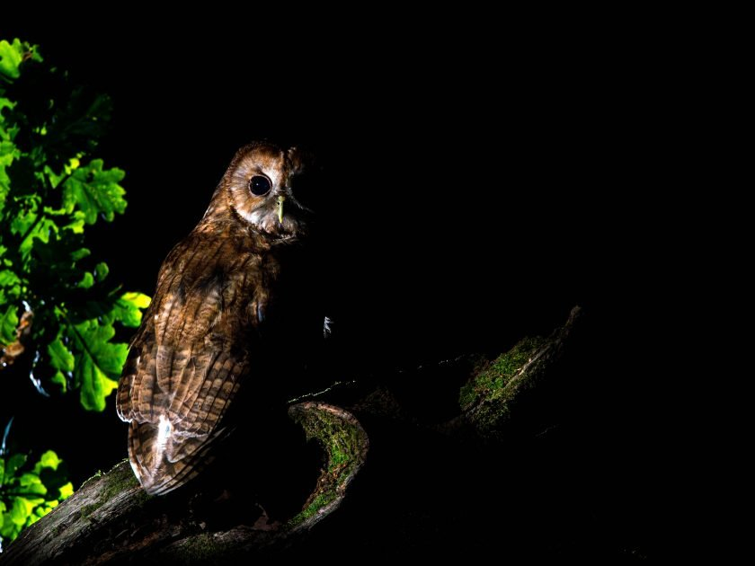 tawny owl photography watching with David Plummer