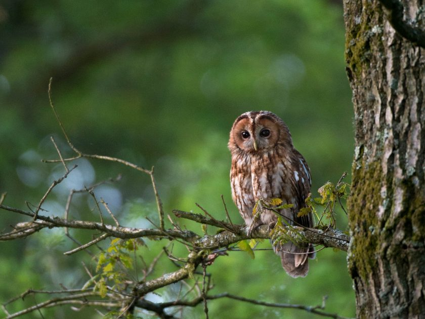 tawny owl wildlife photography by David Plummer