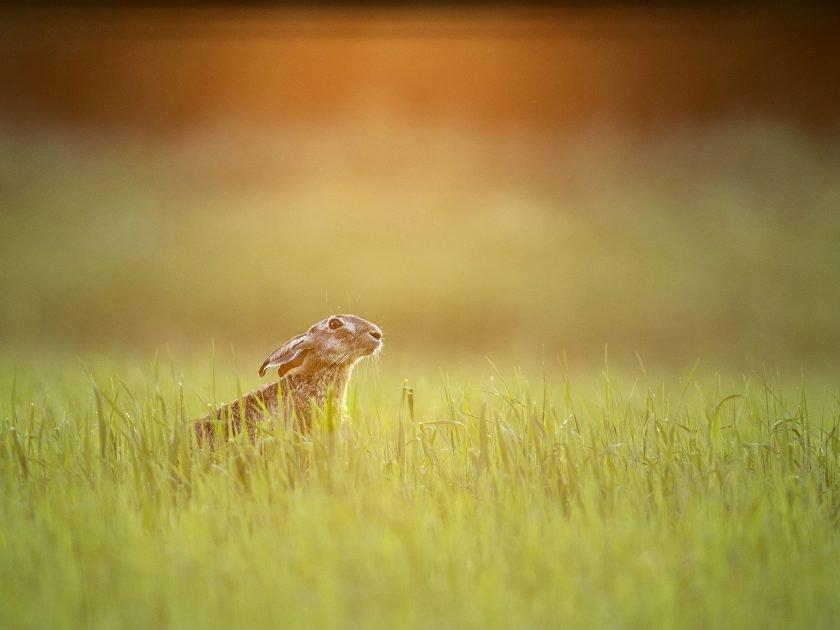 Hare - Guided wildlife photographic safari. Kiskunsag National Park, Hungary