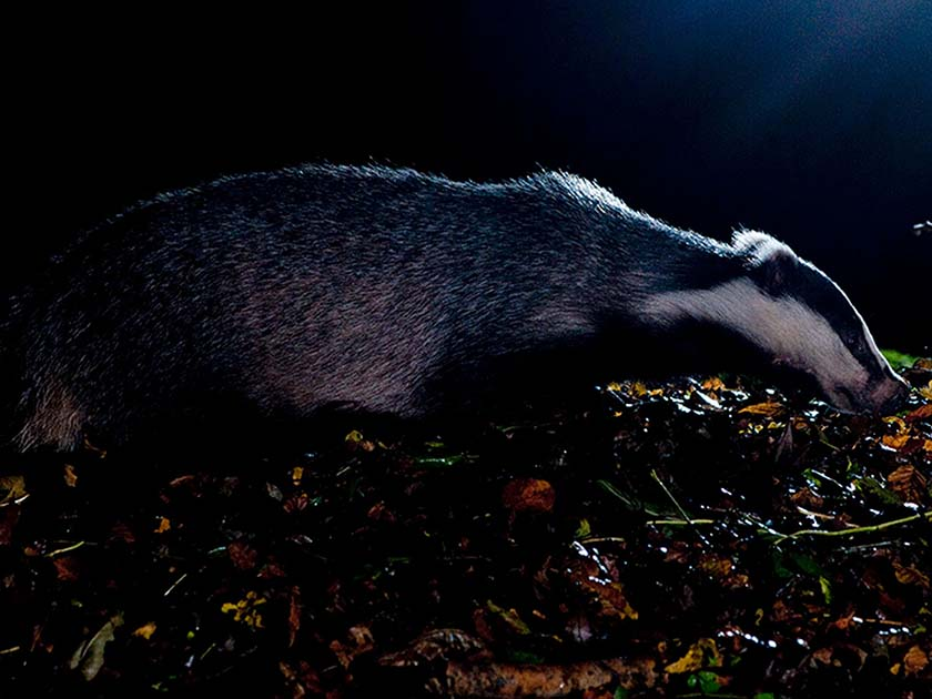 Badger watching sussex wildlife photography by David Plummer