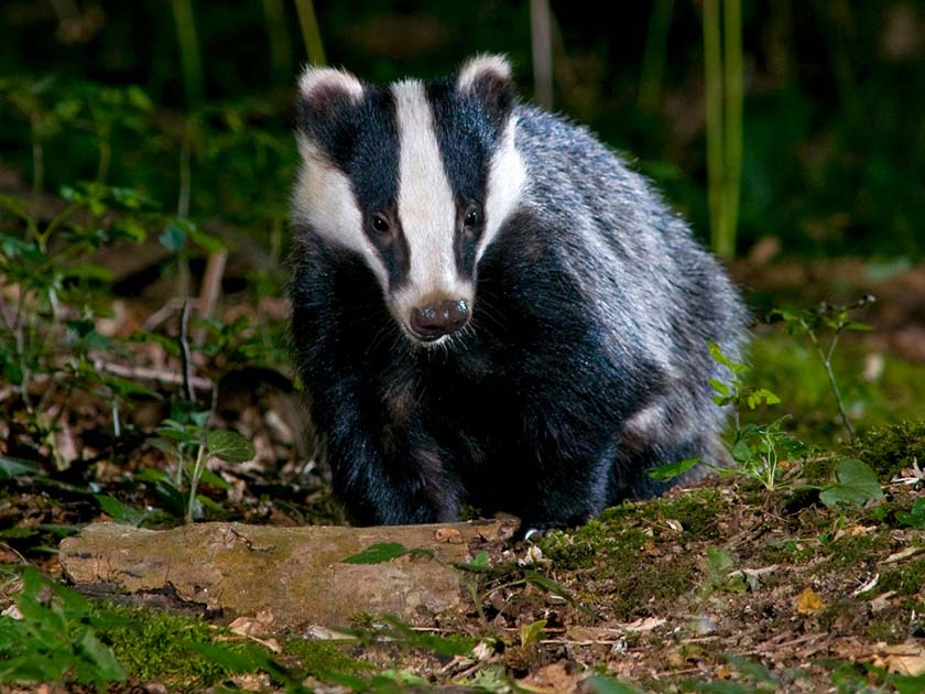 Badger wildlife photography by David Plummer