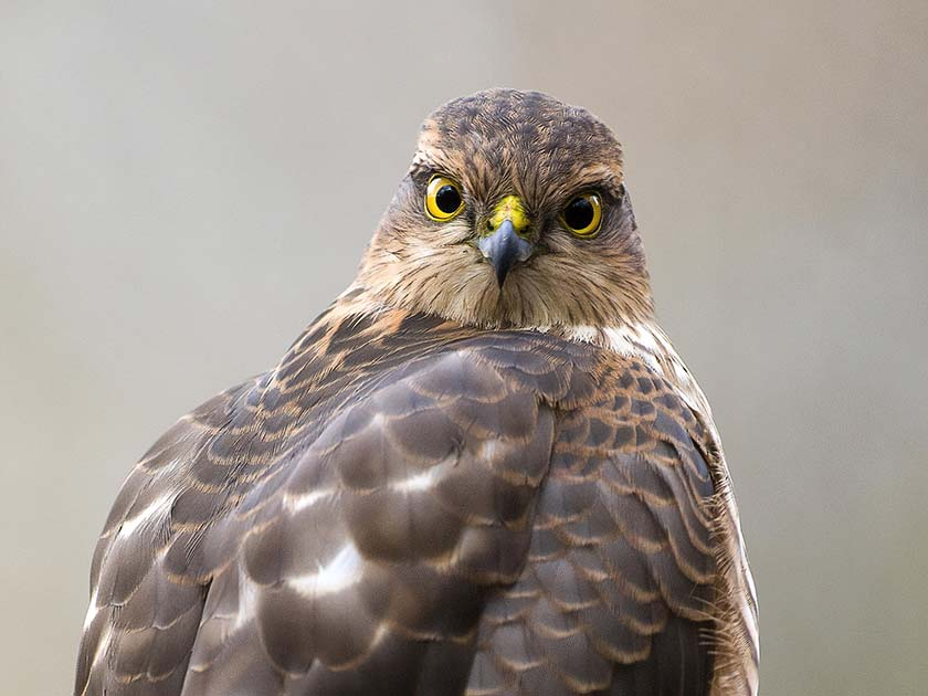 Sparrowhawk wildlife photography by David Plummer