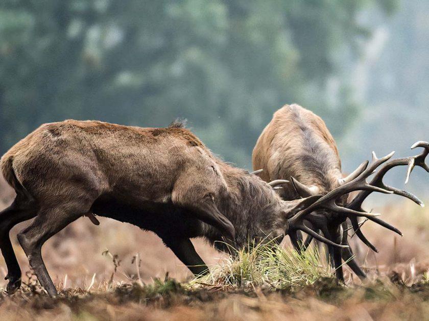 red_deer_rut_sussex_uk_kmepp rewilding